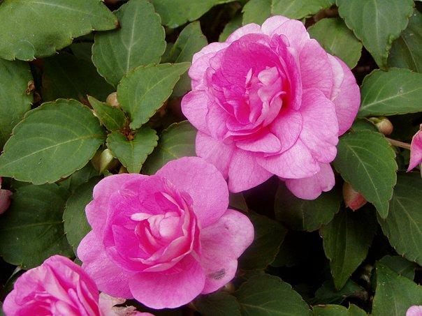 Бальзамин садовый сорта фото