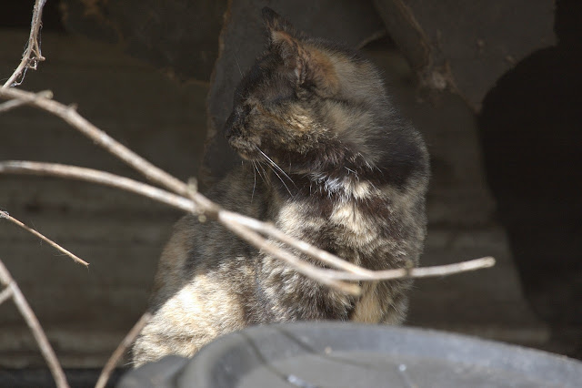 tortoise shell feral cat in shadows - tortie