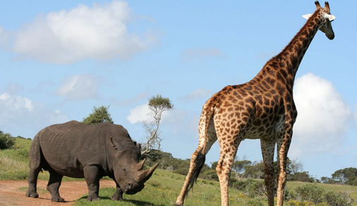 Giraffe With No Neck