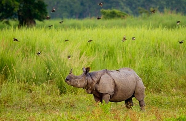 Rhinoceros at Kaziranga National Park (photo - Nassif Ahmed)