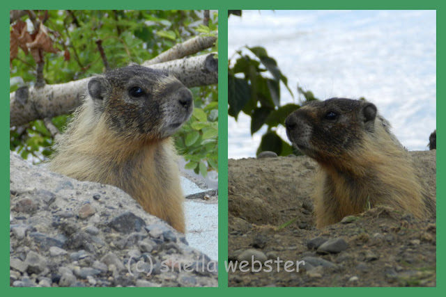 The marmots watch the pedestrians walk by likely hoping for food.