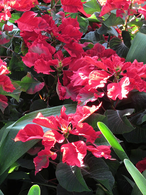 Carousel Dark Red poinsettias