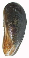 Atlantic ribbed mussell,  low marsh