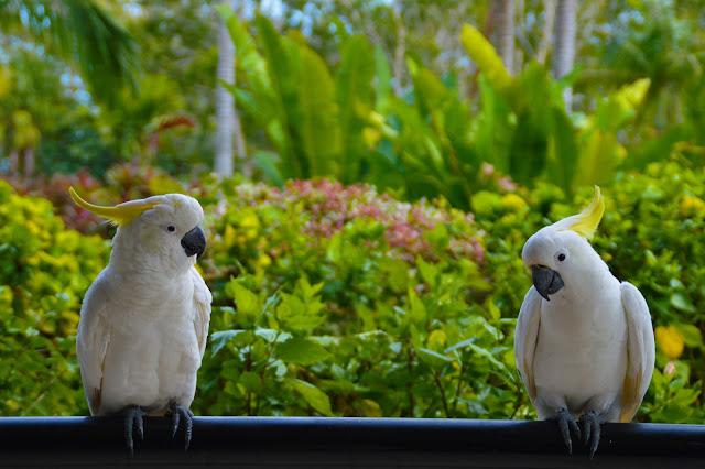 cockatoos hamilton island