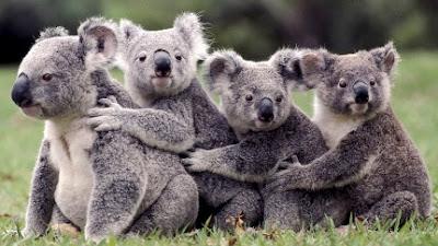 Koala en cola