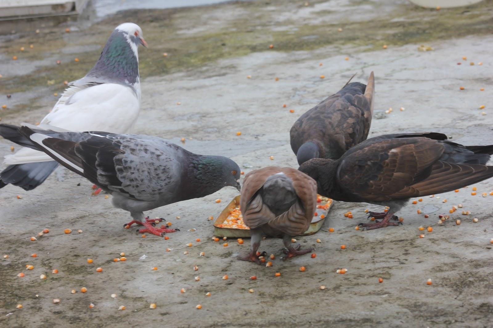 Camperenik Project Jenis Makanan Burung Merpati