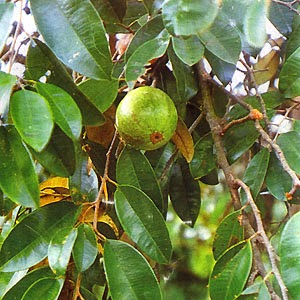 "kaimito leaves as mouthwash If the leaf tastes acrid (""mapakla""), it usually has pectin or tannin it is effective in diarrhea and as mouthwash for oral sores and gum disease some examples are avocado, banana, cashew, duhat, guava, mangosteen, santol and starapple (""kaimito""."