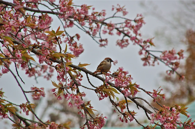 Tree sparrow plucks cherry blossom in Kyoto Japan