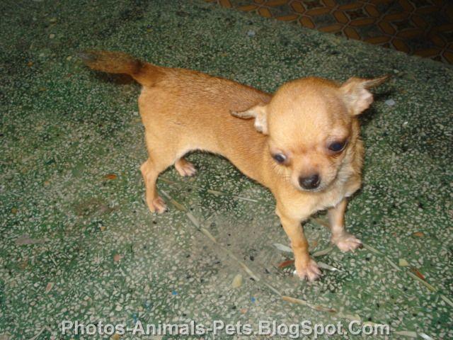 http://4.bp.blogspot.com/-qiouJoS_2ZE/TrV1W9sBVBI/AAAAAAAACL8/ygKCKJw55Qc/s1600/Pictures%2Bchihuahua%2Bmini_.jpg