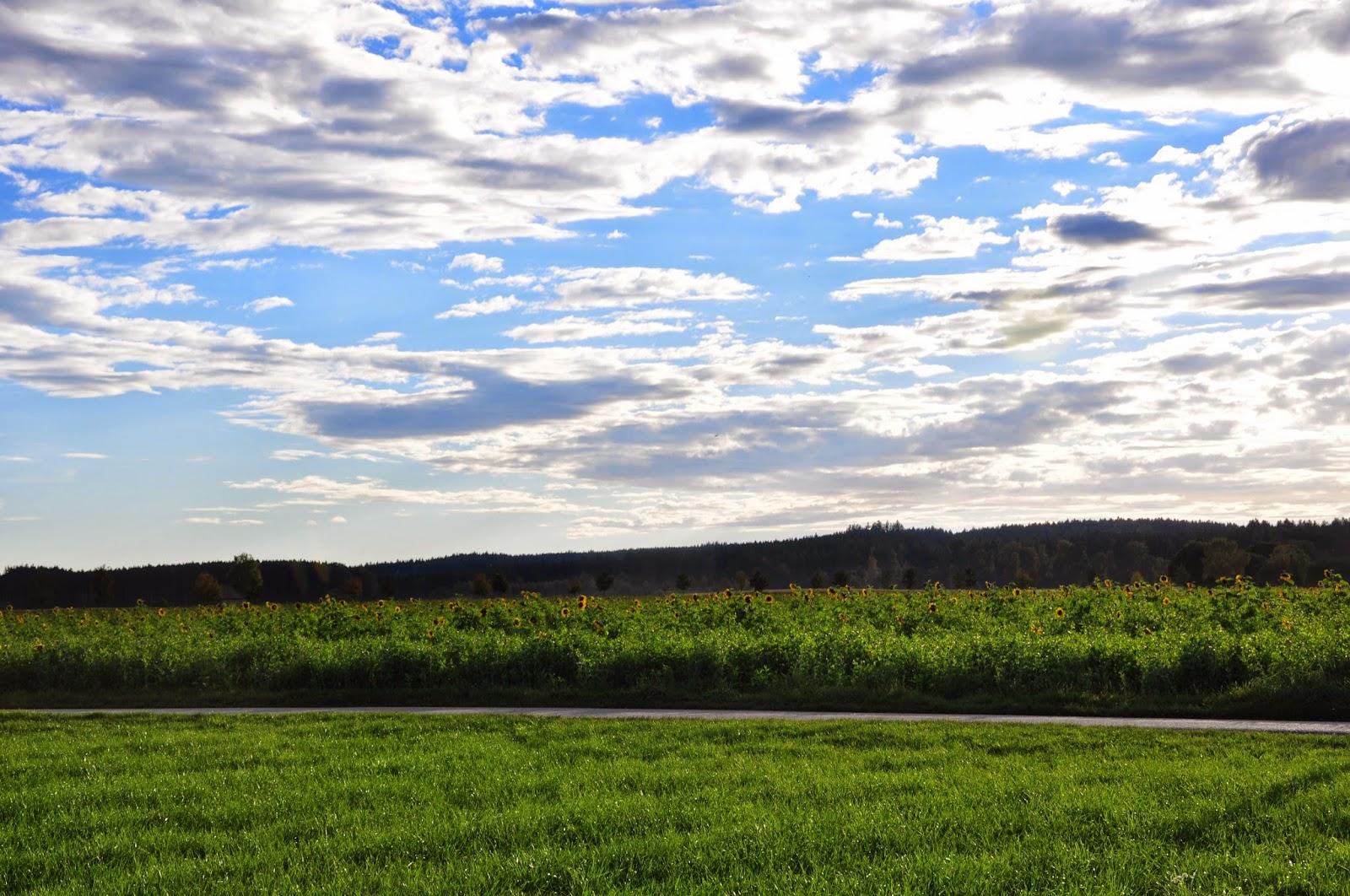 Herbst-Impressionen | Sonnenblumenfeld