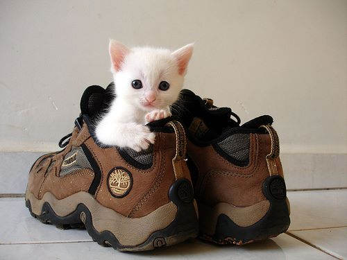 Little kitten hiding inside a shoe