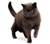Ras-kucing-Britishshorthair1
