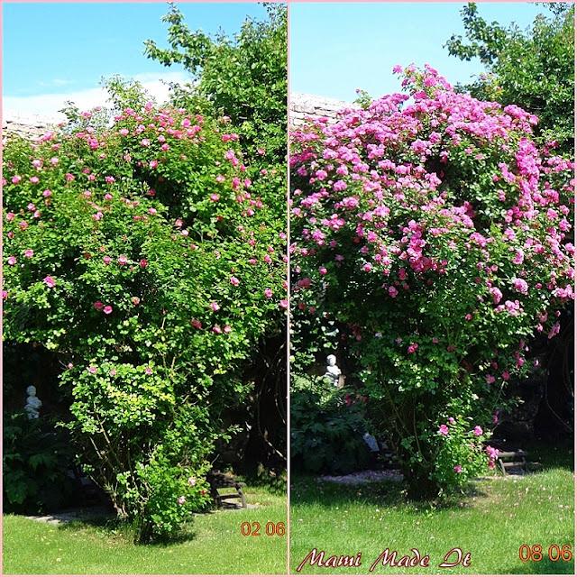Roses in June - Rosenmonat Juni