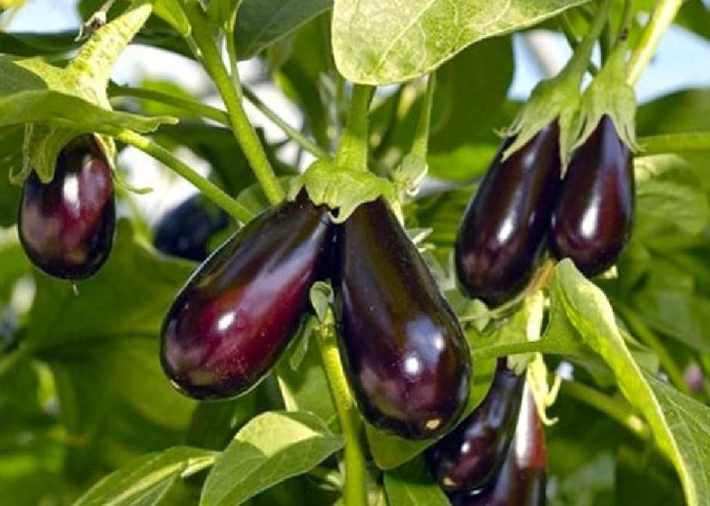 Плоды баклажанов очень красивы
