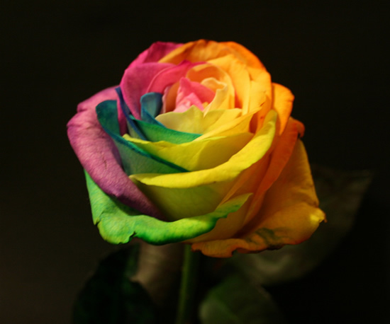 Rainbow roses incredible dot com for What are rainbow roses