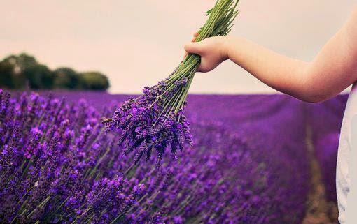 Lavender flower fields