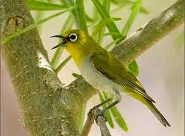 Foto Burung Bancit Jantan
