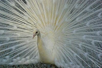 paunalbwhitepeacockpavorealblancoweißPfau