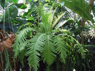 Jardineria, Catalogo de Plantas: Blechnum Gibbum