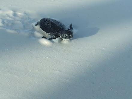 tortuga verde (Chelonia mydas) foto:Octavio Avila López