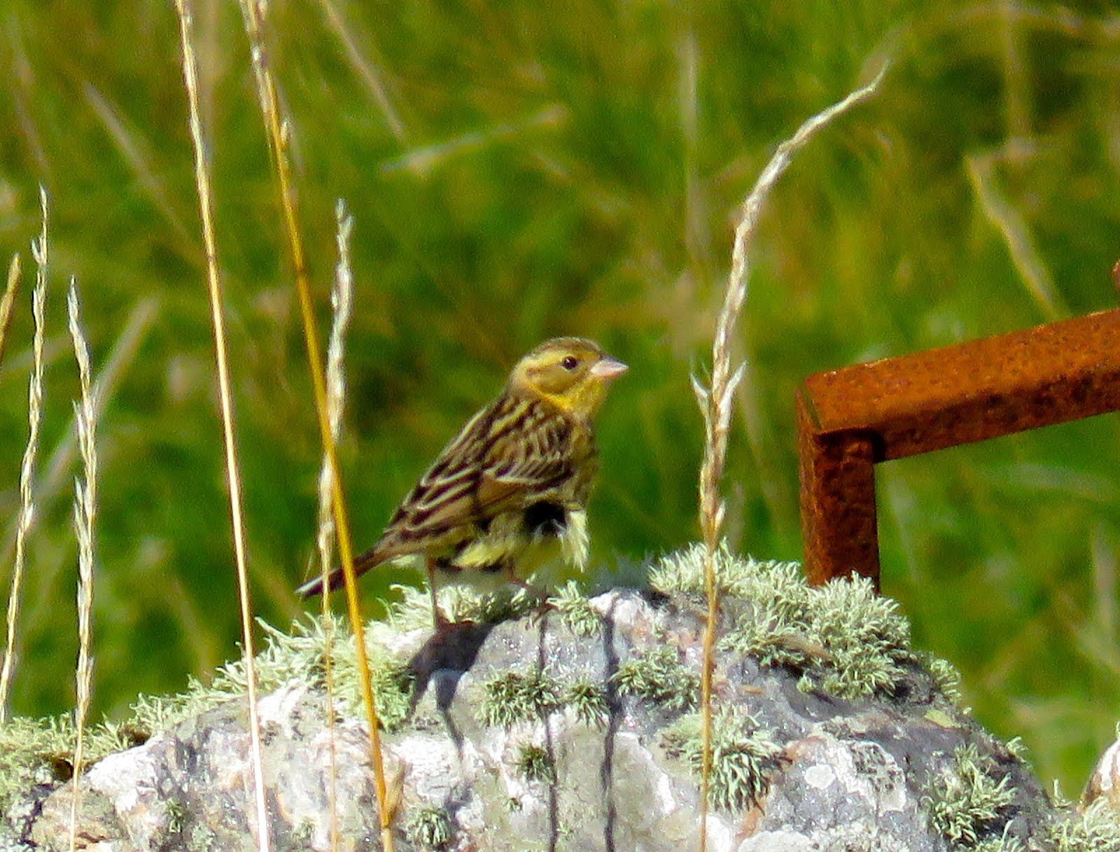 YELLOW BREASTED BUNTING-HOUSAY-OUTER SKERRIES-SHETLAND