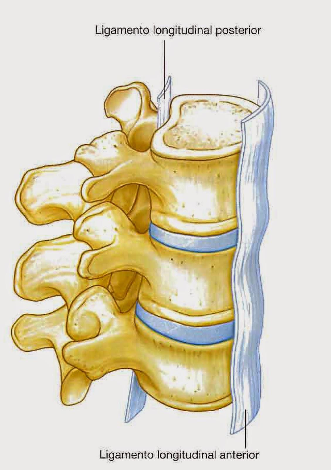 Anatomía de la columna vertebral: COLUMNA VERTEBRAL: LIGAMENTOS Y ...