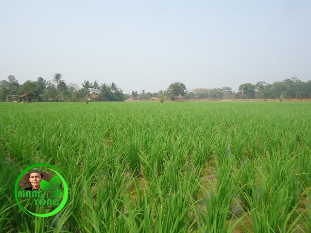Ilustrasi : Varietas padi IPB3S produksi 14 ton per hektare mulai ditanam di Subang. Foto jepretan di sawah admin