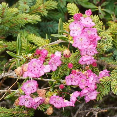 Bog laurel (Kalmia polifolia)