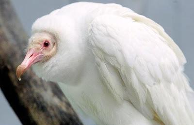 Abutre Albino