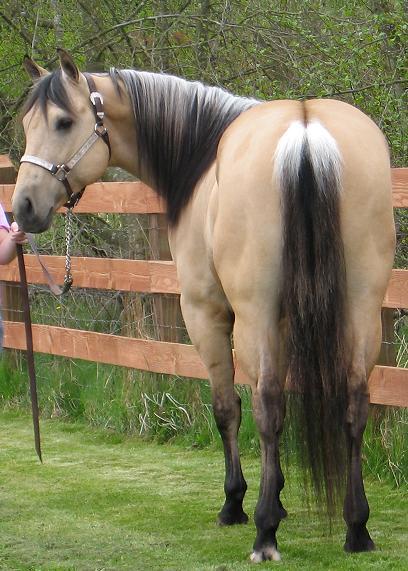 Dun horses - photo#6