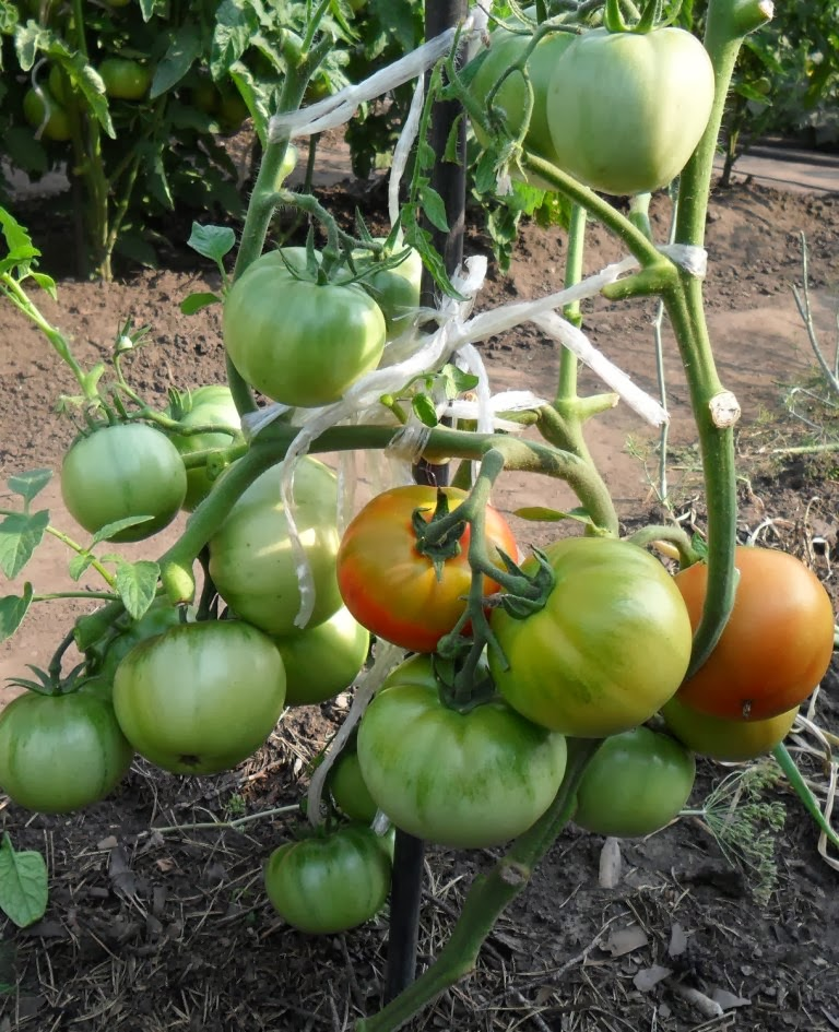 Куст детерминантных помидоров