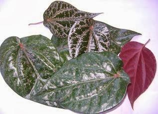 Khasiat daun Sirih Merah untuk Kesehatan Tubuh