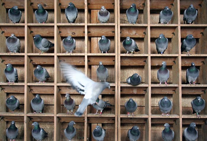 Как сделать гнездо для голубя своими руками