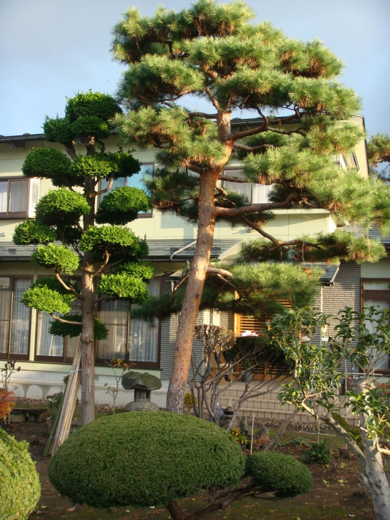 Japanese Gardeners Nearly Always Use Garden Tools Made In Japan   Hedge  Shears, Secateurs, Garden Scissors Used For Thinning The Needles On The  Pine Trees ...