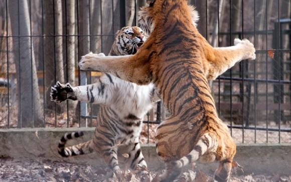 لأجمل اللحظات عالم الحيوان potd-tigers_2201603k