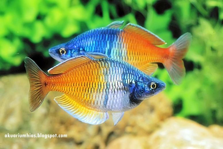 Ikan+Rainbow+Boesemani+-1 40 jenis Ikan hias air tawar yang banyak dipelihara di Indonesia  wallpaper