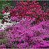 Azalea Garden Ideas