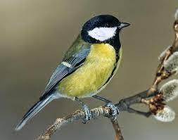 Gambar Cara Merawat Burung Gelatik