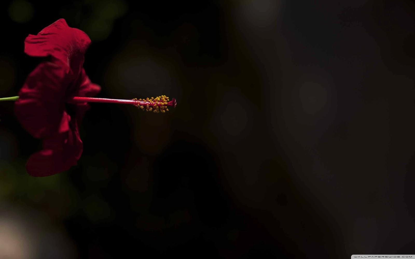 red hibiscus flower wallpaper