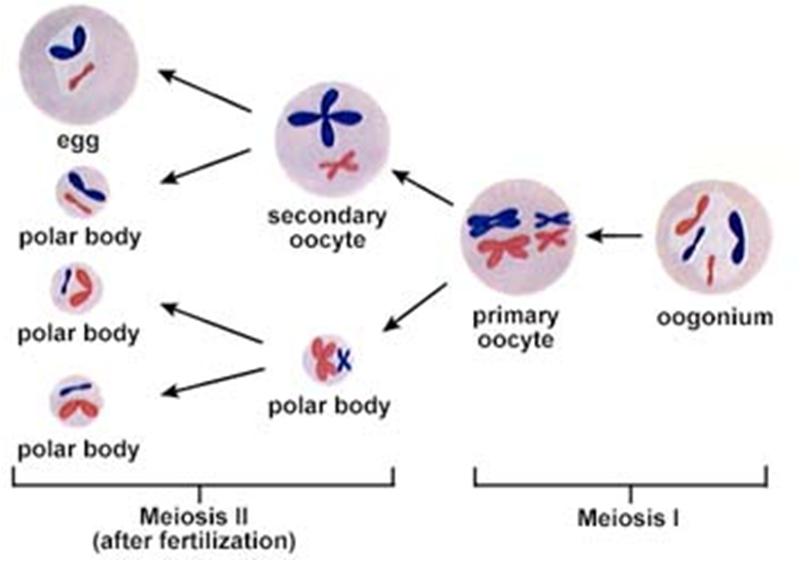 Pembentukan sel kelamin dan fertilisasi perkembangan embrio oogenesis merupakan pembentukan sel telur ovum yang berasal dari sel oogonium dan terjadi di ovarium indung telur tahapannya yaitu ccuart Image collections