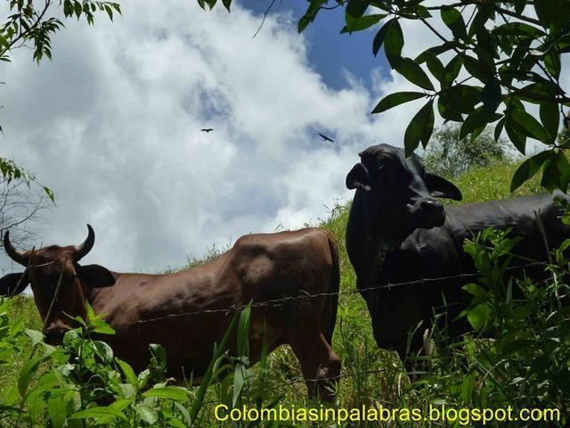 Vacas y Gallinazos
