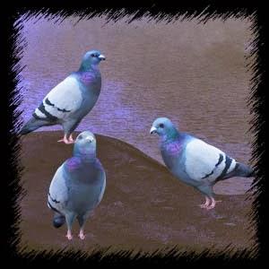 http://4.bp.blogspot.com/-qn7bEkTKAVA/VG_svJfd1II/AAAAAAAAC-E/UijkEZkhEwk/s1600/Mgtcs_GreyPingeons.jpg
