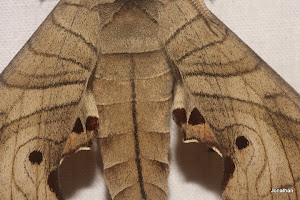 Marumba Hawk Moth.(Rear end with wings)