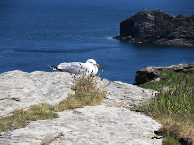 Seagull on Cornish cliffs