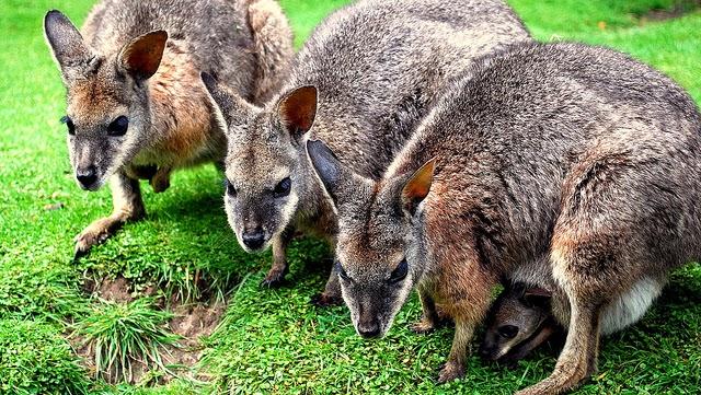 Poze cu canguri