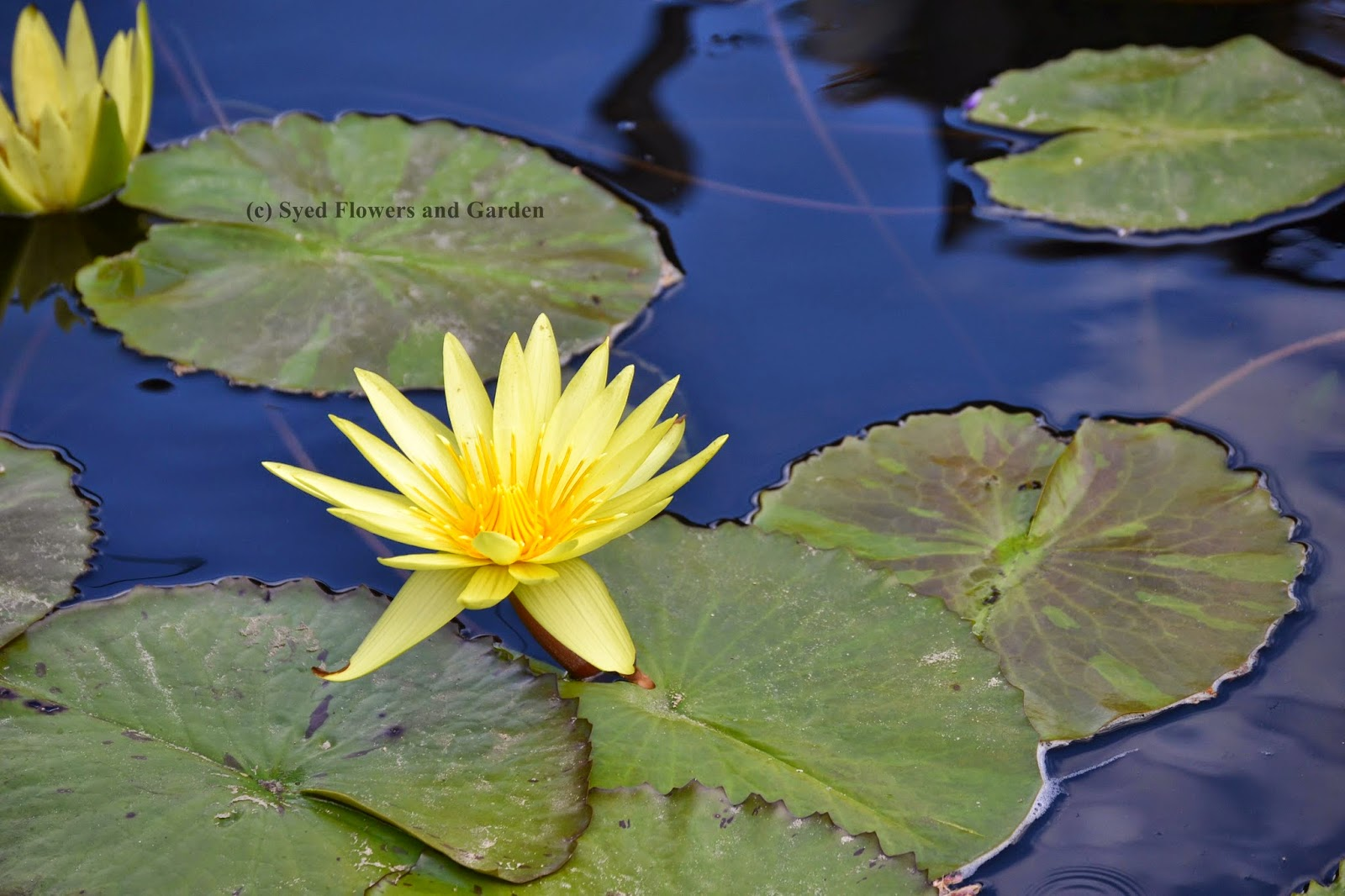How to grow water lilies or aquatic plants nymphaeaceae flower water lilies are easy to grow water lilies grow well in small to medium pools lilies plants have adapted to living in a total water environment izmirmasajfo Gallery