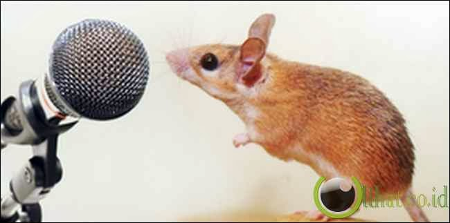 Tikus Bernyanyi