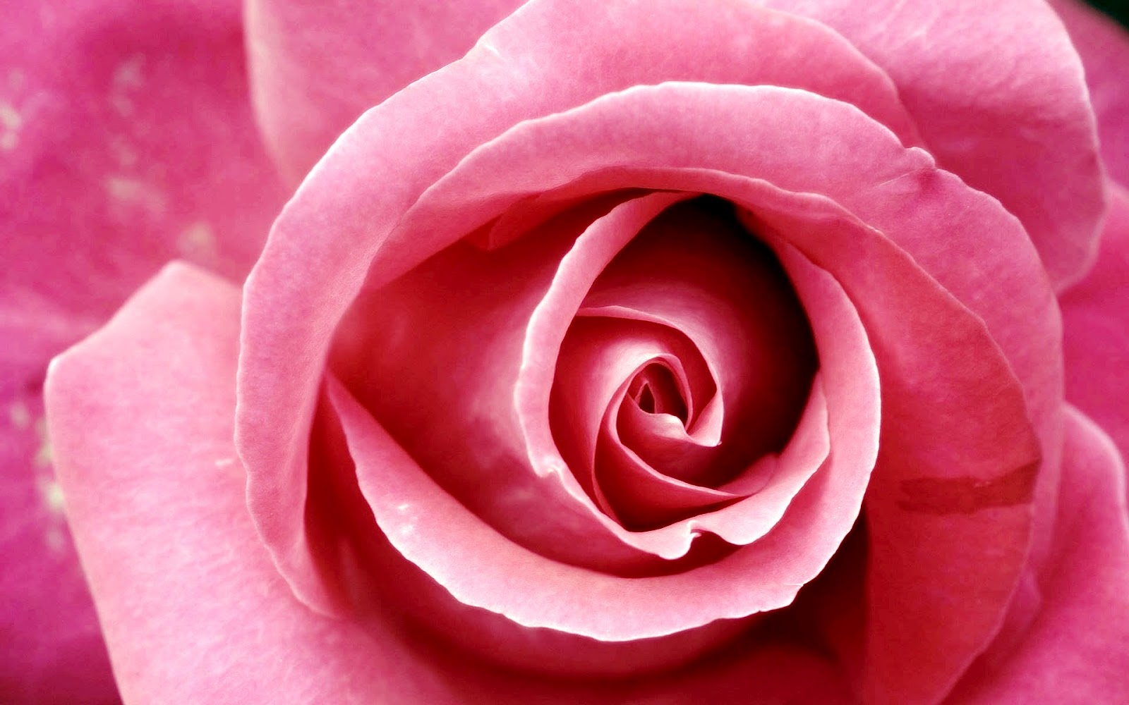 http://4.bp.blogspot.com/-qoJ84B3C-Hg/T0a-k9WAiaI/AAAAAAAADwo/zZ1ydGFowcA/s1600/beautiful_pink_rose-wide.jpg