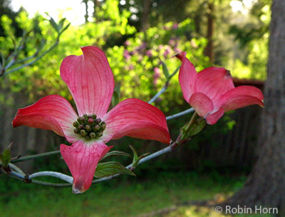 Double Pink Dogwood Blossom with Woods in Background