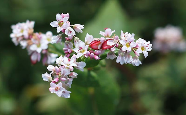 Buckwheat Flowers Pictures